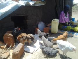 PSN in Kuku Village attending to the chicken given to her.