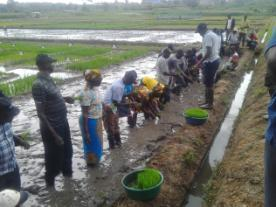 TOTs learning how to transplant rice in a lowland setting in Namulonge research institute.
