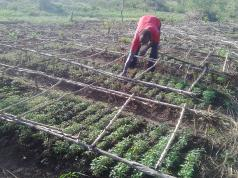 A farmer weeding his tomato nursery bed in Adologo village.